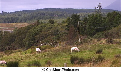 Sheeps grazing on a hilly field