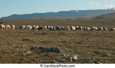Sheeps Grazing On Mountain Plateau