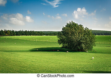 Sheeps Grazing on the Green Meadow in Summertime