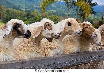 Sheeps head looking