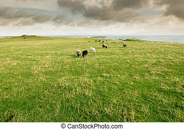 sheeps herd grazing on the coast over the ocean