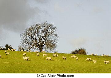 Sheeps in a field in winter