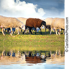 sheeps in a meadow, black sheep in the water