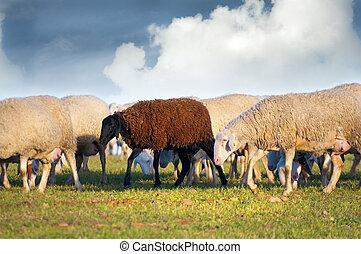 sheeps in a meadow, black sheep