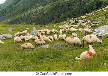 Sheeps in a meadow in the mountains. Beautiful natural landscape on Transfagarasan Mountains in Romania