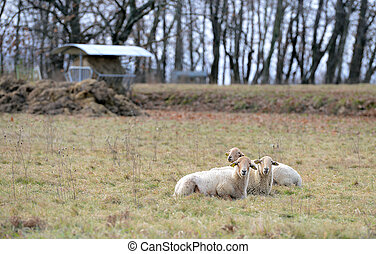 Sheeps in a meadow in the mountains