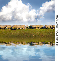 Sheeps in a meadow with water reflection effects.