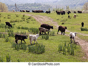 Sheeps in a mountain pasture
