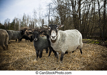 sheeps in a pasture