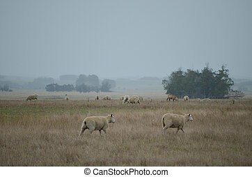 sheeps in action on the meadow