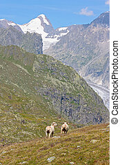 sheeps, in, alpi svizzere