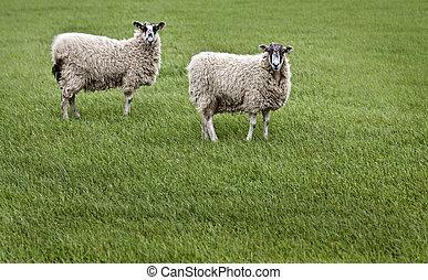 Sheeps in England meadow