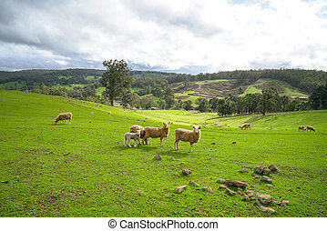 Sheeps in meadow of green farm land