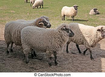 sheeps in meadow