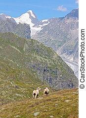 sheeps, in, schweiziska fjälläng