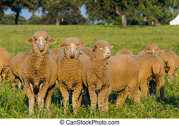 sheeps in the field looking at camera