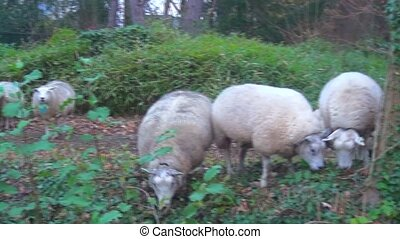 Sheeps in the forest