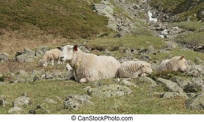 Sheeps in the mountains of Norway - Sheeps in the Norwegian...