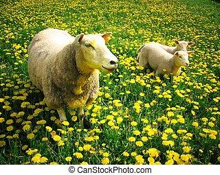 sheeps, lamm