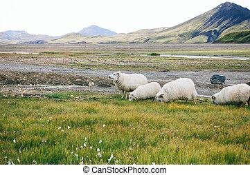 Sheeps on a field of Landmannalaugar