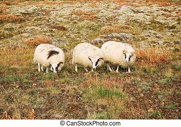 Sheeps on a field