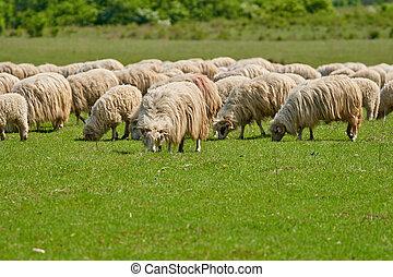 Sheeps on a grass field