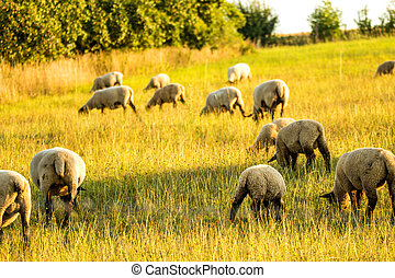 sheeps on a pasture in summer