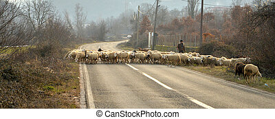 Sheeps on a road in macedonia