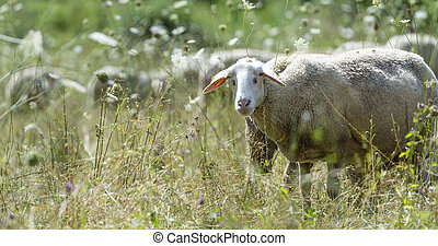 Sheeps on a summer meadow