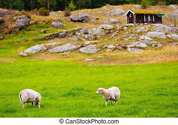 Sheeps On Pasture. Norway Landscape