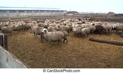 sheeps on the farm 1