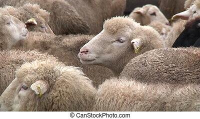 sheeps on the farm 3