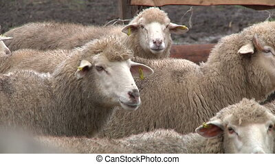 sheeps on the farm 4 - sheeps on the farm