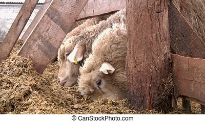 sheeps on the farm 5