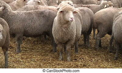 sheeps on the farm 6