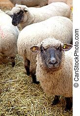 Sheeps on the farm