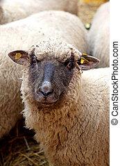sheeps, op het landgoed