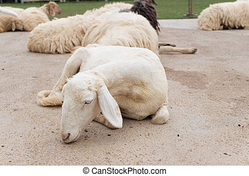 Sheeps relaxing in nature farm