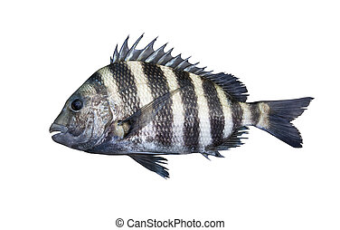 Sheepshead fish isolated on white - A sheepshead saltwater...