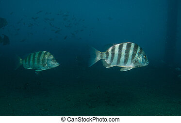 Sheepshead, picture taken in the intercoastal waterway,...