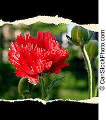 Sheet of paper with flower - A sheet of paper with red ...