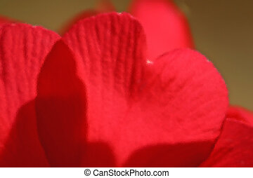 Sheets of red tulips