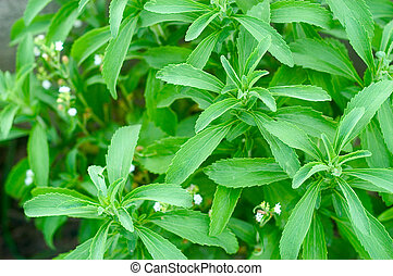 Sheets of Stevia in a Garden - sheets of stevia in a garden