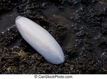 Shell of a cuttlefish - White shell of a cuttlefish on sea ...