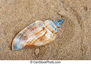 Shell of the sand