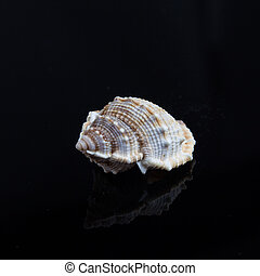 shell on a black background.