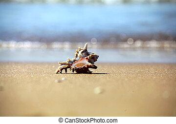 shell on beach  sand