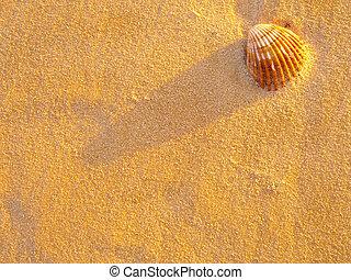 shell on beach - shell sitting on the sandy beach...