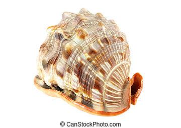 shell on white