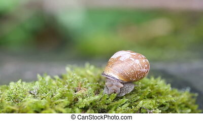 Shelled snail - Snail over green lichens and moss